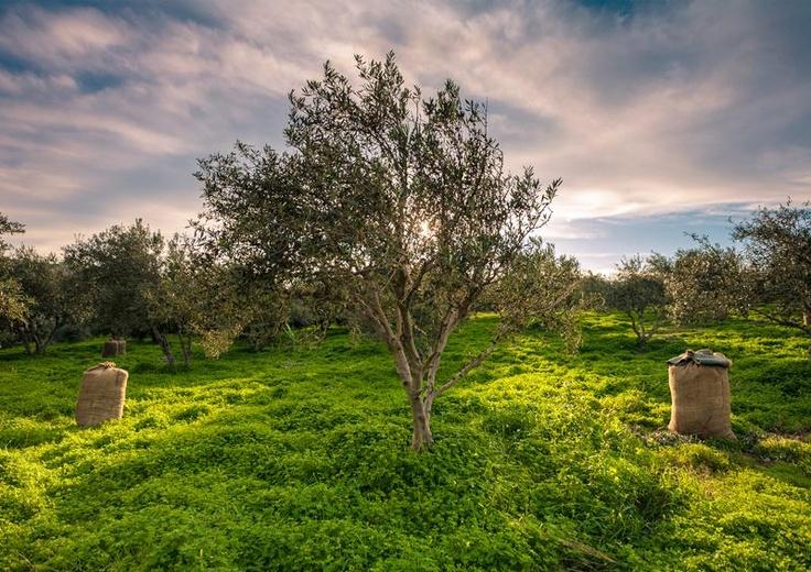 Crete, olive tree