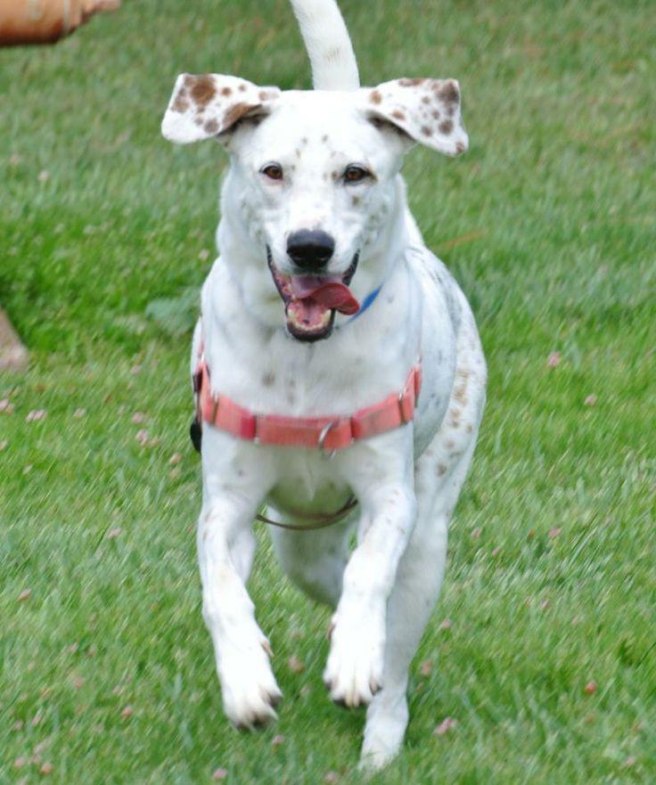 Adopt snickers on petfinder dalmatian mix animal