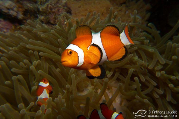 Le poisson-clown, star des récifs coralliens #nemo #clownfish #clown #poisson #corail #reef #coral #bio #diving #plongée