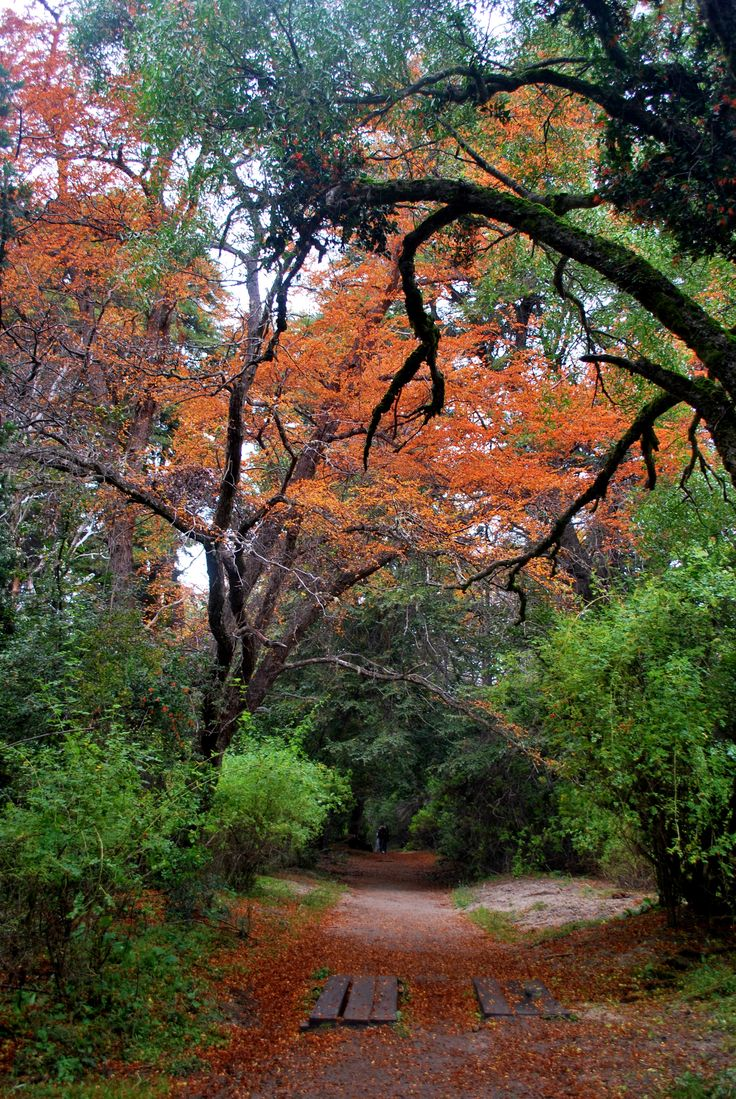 Bosque de lengas en Villa la Angostura - Neuquén - .Argentina