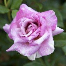 ANTIQUE AFFAIR | Roses by Name | Shades of Blue / Lilac | Floribunda | Bob's Roses