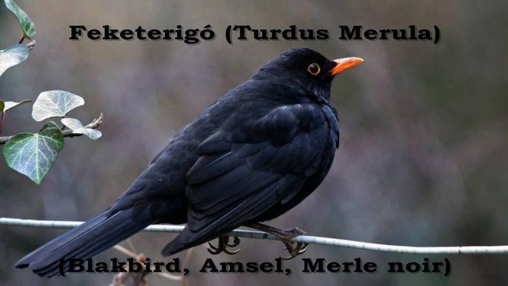 Feketerigó (Turdus merula)