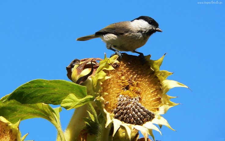 Ptaszek, Słonecznik