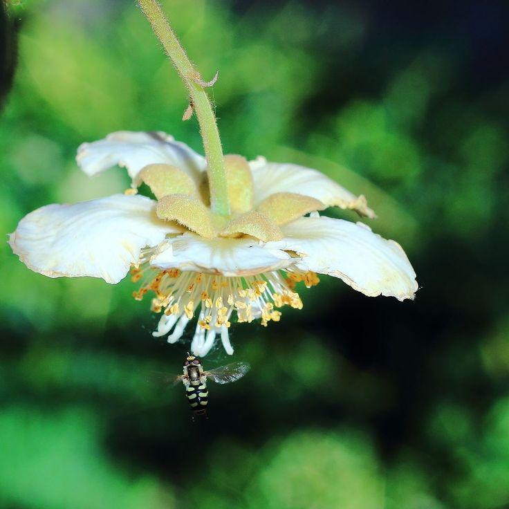Az első virágok a kivin amit 2 éve ültettünk. The first flowers in our kiwi. #instahun #ikozosseg #magyarig #iközösség #magyarinsta #fotoklub #mutimitnassolsz #recept #instaeat #sharefood #food #recipes #instafood #foodpics #foodphotography  #homemadefood #canon  # kiwis #fruit #kivi #kiwi #kiwifruit