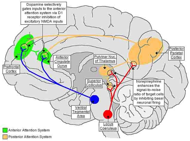THE NEUROBIOLOGY OF ATTENTION-DEFICIT HYPERACTIVITY DISORDER - - repinned by Private Practice from the Inside Out http://www.AllThingsPrivatePractice.com