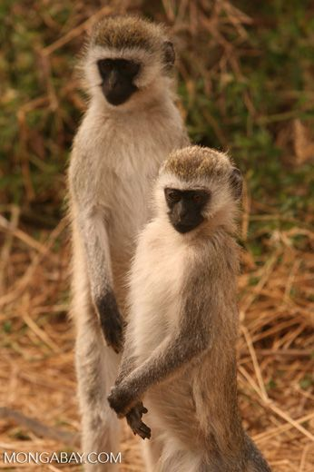 Pair of vervet monkeys standing on rear legs — tz_2438