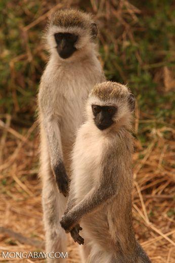 Pair of vervet monkeys standing on rear legs — tz_2438
