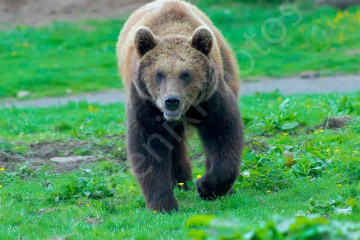European Brown Bear going for a stroll