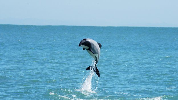 Maui's dolphin. These little dolphins, the tiniest ones of all dolphins, are endemic to New Zealand and are critically endangered - only about 55 left over the age of one. Here is on leaping out of the water.