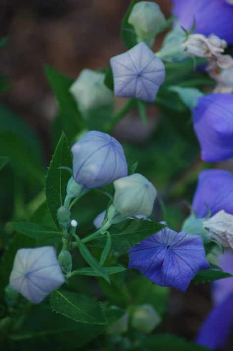 Not only does balloon flower have a terrific-looking flower as it's about to open, but it blooms late in the season. It gives you color in August, after the flowers on many plants have petered out. It is thus a great tool for managing sequence of bloom in your garden: http://landscaping.about.com/od/helpforbeginners/fl/Sequence-of-Bloom-and-Successional-Interest-Explained-for-Newbies.htm