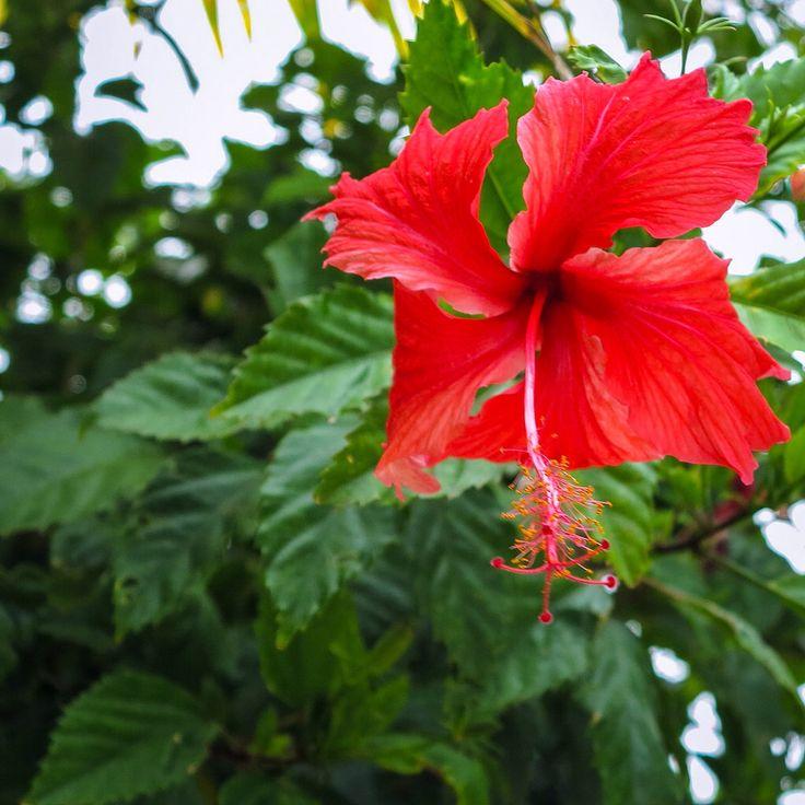 Samoen flowers