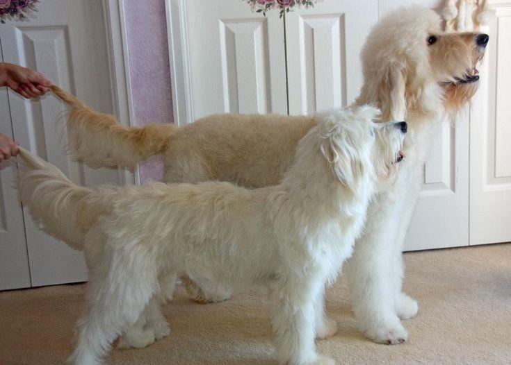 Goldendoodle Mini Vs Standard Size Comparison