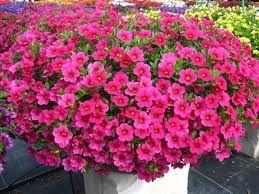 Советы! Как правильно проводить прищипку петунии | Записи В мире цветов | УОЛ