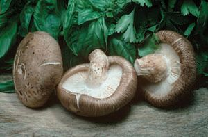 Growing Shiitake Mushrooms: Step-by-Step Guide to an Agroforestry Crop Image