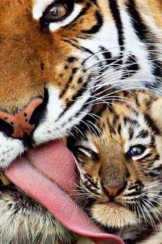 Tigers♥ Love of mother!