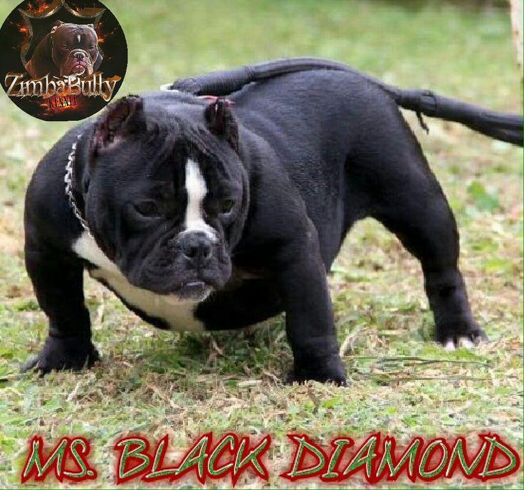 Zimba Bully Kennel