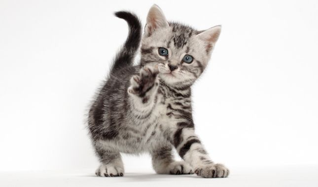 Everything you want to know about American Shorthairs ...