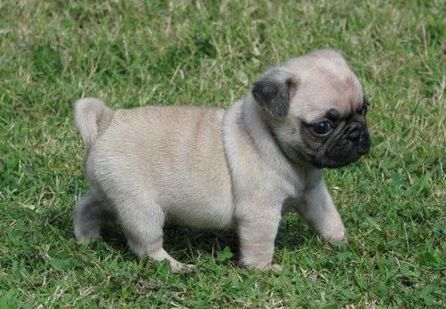 The Pug That Herds Chickens - Three Million Dogs
