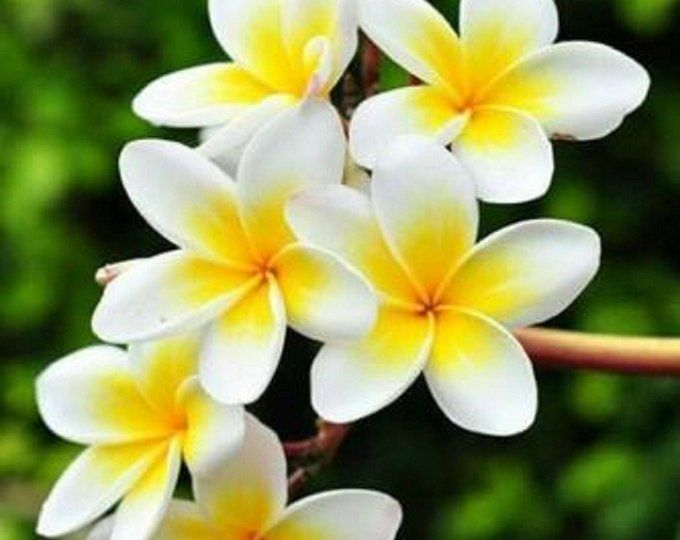 10 Yellow White Purple Plumeria Seeds Plants Flower Lei