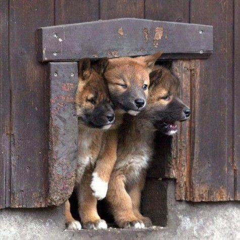 CerberusThe Doors, Dogs, Funny Pictures, Dingo, Pets, Adorable, Things, Funny Puppies, Animal