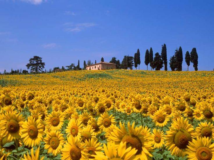 El paisaje que ofrecen los girasoles en los campos de la Toscana parecer ser sobrenaturales. Toda un... - Corbis. Texto: Almudena Martín