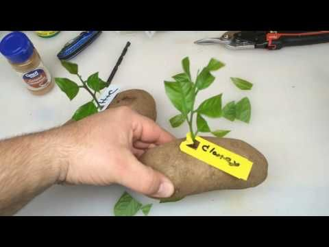Put A Lemon Cutting In A Potato And Watch It GROW!!! - YouTube