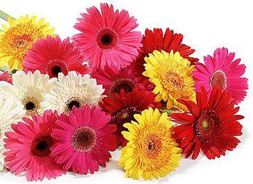 fave flowers: Flowers Gardens, Gerbera Daisies, Flowers Pl, Flowers Online, Beautiful Gerbera, Google Search, Flowers Always, Wedding Flowers, Send Flowers