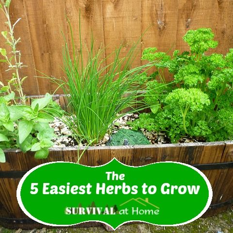 The 5 Easiest Herbs to Grow. Plant in containers or pots indoor or outside. Read more about these five herbs for cooking and health. #herbs  1. Basil 2. Chives 3. Mint 4. Rosemary 5. Thyme