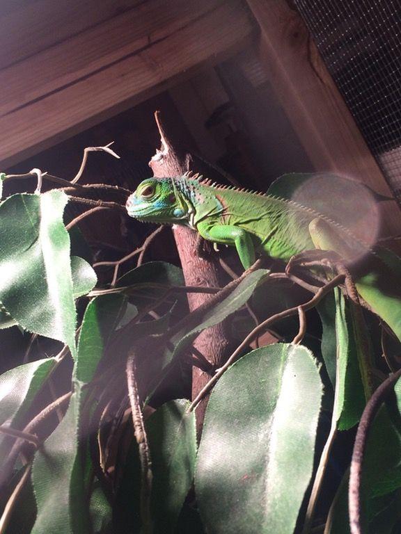 My Friends Iguana Iguanas