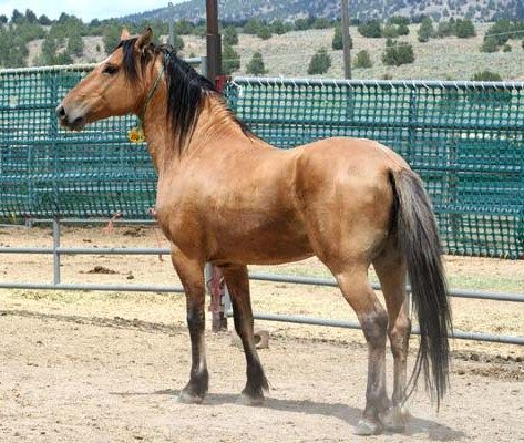 Beautiful wild Mustang at the BLM adoptions