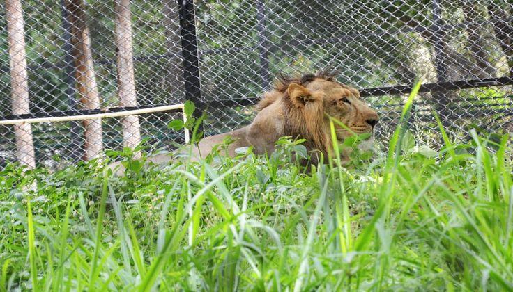 Lion by prabhuviswa