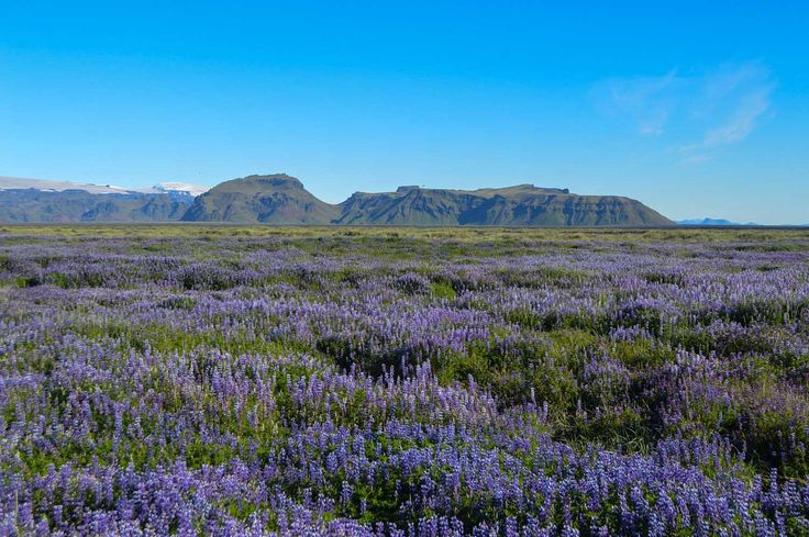 Fields of lupins in Iceland | heneedsfood.com