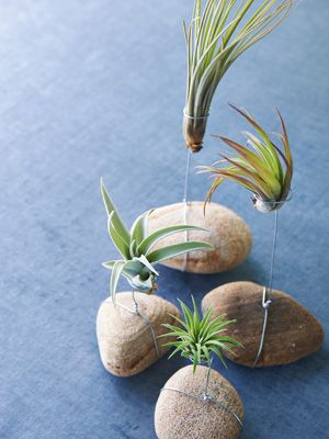 On the Rocks - River rocks add a bold earthy statement to this tillandsia display