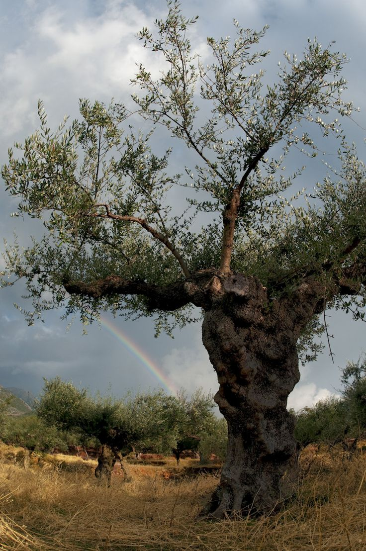 Almost time for the harvest of olives!