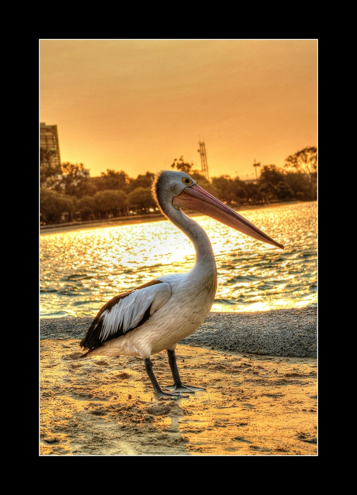 Pelican having fun at Mooloolaba Sunshine Coast Queensland in the Sunset.
