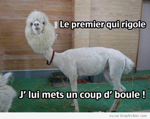 """Drôle d'animale ! Un lama rasé avec une coupe de caniche : """"Le premier qui rigole, J'lui mets un coup d'boule !"""""""