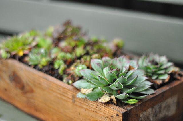 husløg,sukkulent,vinterhårdfør,nem plante,nem blomst,tørketålende plante,plante lidt vand,stenbedsplante,sempervivum