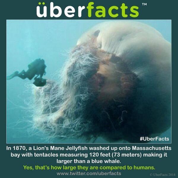 Lion's Mane Jellyfish Next to Man