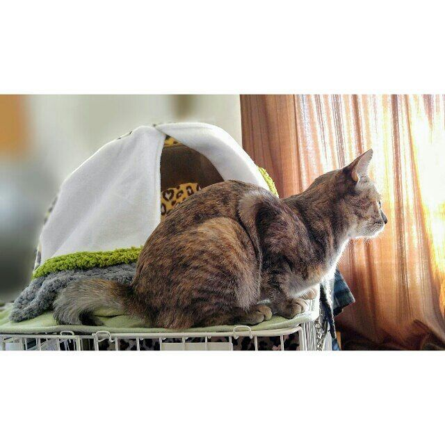 216日目🌿🐨 リス❔ネコ❔ それとも、リス猫か…(笑)😂💦 丸まってるの 初めて見た~(笑)😁🎶 2016/11/16 #リス猫 #リスねこ #ネコリス #ペットハウス #寝室 #お気に入り #クリスマスプレゼント #サビトラ #さびとら #サビトラ猫 #鍵シッポ #鍵しっぽ #ヤンチャ娘 #おてんば娘 #過保護 #猫 #ネコ #ねこ #仔猫 #子猫 #こねこ #親バカ #猫バカ #愛猫 #野良猫 #保護猫 #福岡 #九州