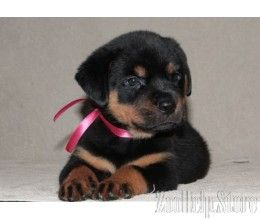 Rottweiler Puppies In Va Rottweiler Puppies In Maryland