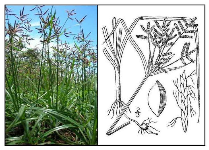 Mutha / Cyperus rotundus/ boto-botones / nut grass : Medicinal Herbs / Philippine Alternative Medicine - used for inducing menstruation