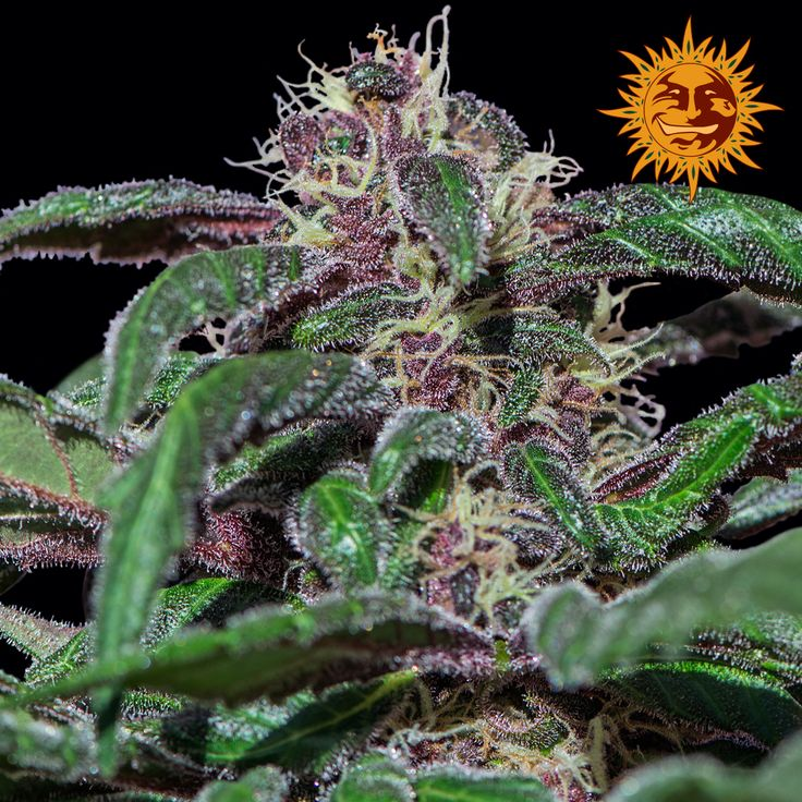 Barneys Farm - Ayahuasca Purple Feminised Cannabis Seeds - Buy Cannabis Seeds Online | Dr Chronic Seeds | London | Essex | UK | The Original Cannabis Seed Emporium | The Worlds Best Marijuana Seeds