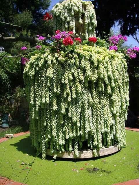 Sedum Morganianum A Great Spiller In Container Gardens
