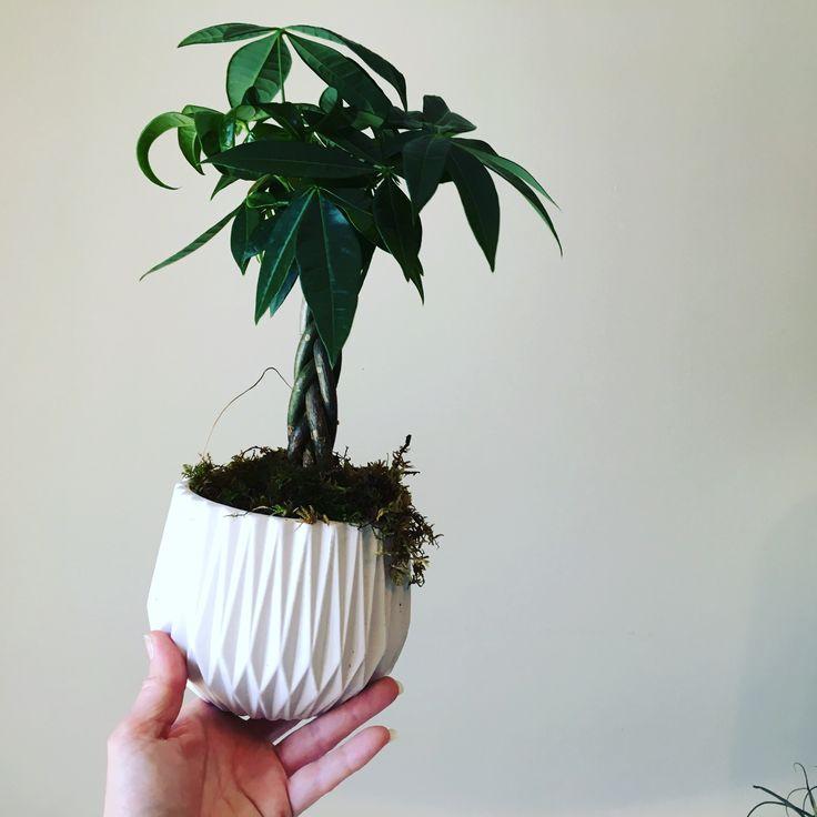 Mini money tree. Symbolizes good energy, wealth & prosperity.   #twigflowersTO #torontoflorist #toronto #moneytree #fengshui #shopsmallbusiness #plants  #green