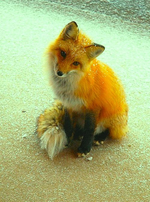 The way this fox is tilting it's head reminds me of my puppy, Lucy.