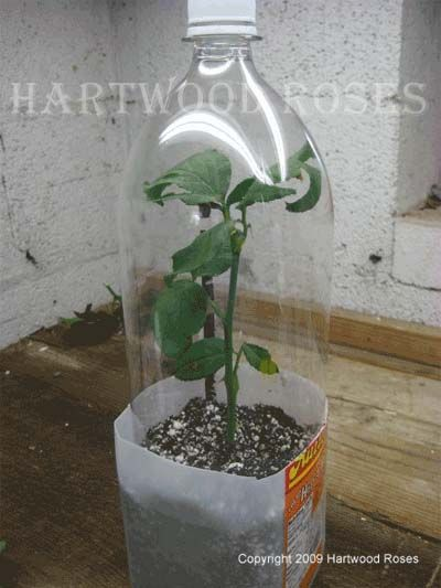 Hartwood Roses: How to Root Roses from Cuttings http://hartwoodroses.blogspot.com/2013/05/how-to-root-roses-from-cuttings.html