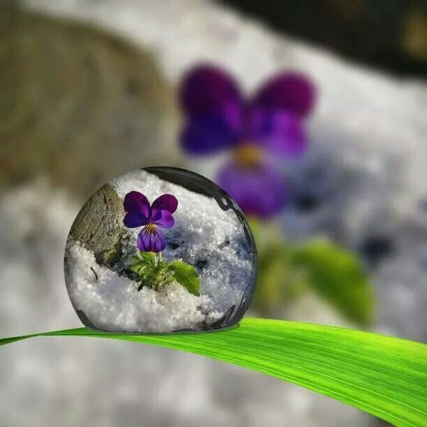 violet - water drop - snow - flowers - macro photography