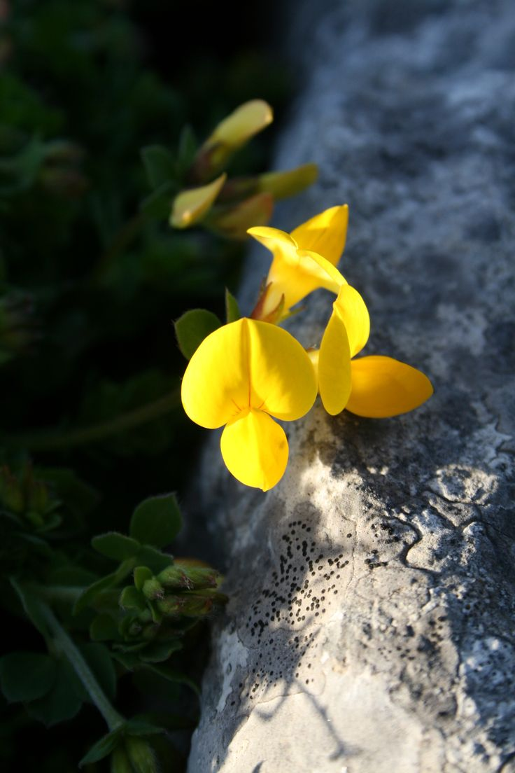 When on Inis Oirr / Inisheer, one must also gaze down low, here sheltered among endless rock crevices and small walled fields is an abundant ecosystem of flora and fauna, in natural cover from an ever-changing sea climate.