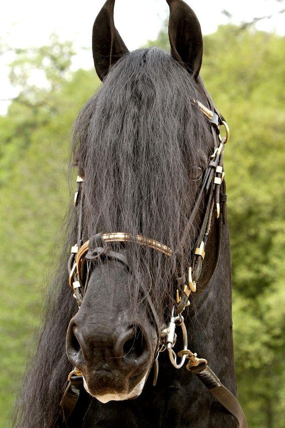 Friesian horse - Horse Breed