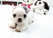 Baby Brody ~ Gorgeous Small White French Bulldog Puppy Available!
